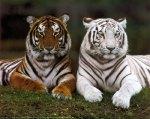 tigres_161